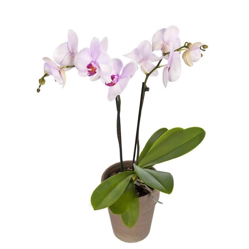 Orhideja u posudi