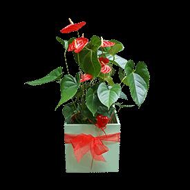 Anturium-Flamingov-cvet