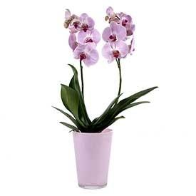 Orhideja u posudi Norveška