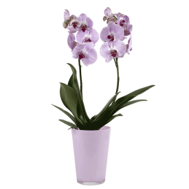 Orhideja u posudi Danska