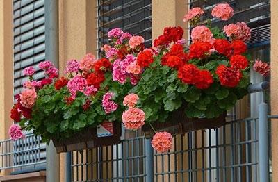 cveće balkonsko